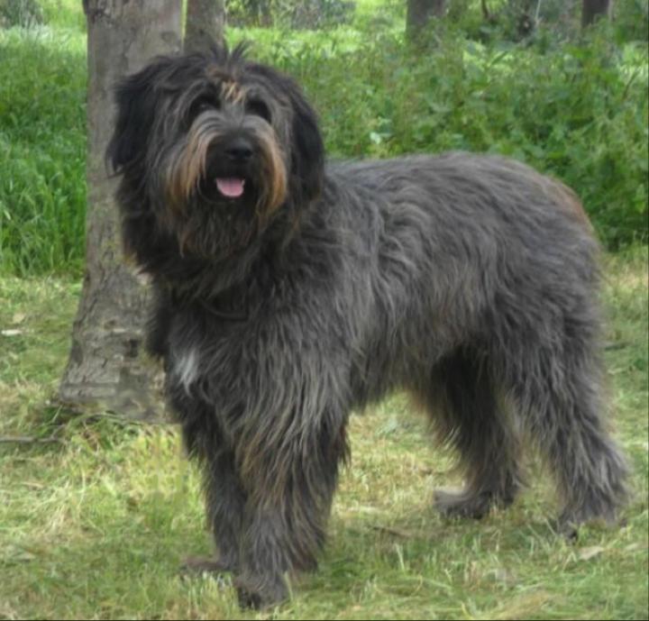 fonni-dog